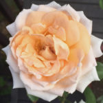 Love Me Do Rose_Singular