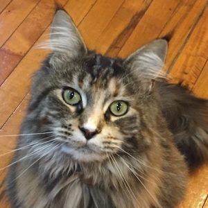 Our Maine Coon Silky