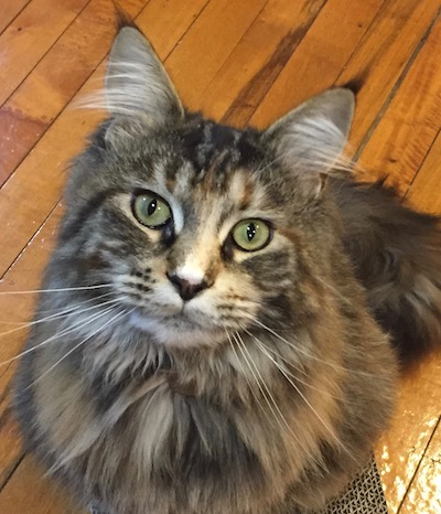Our Maine Coon Silky Horne