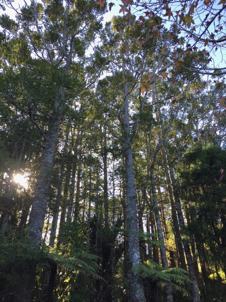 small grove of Kauri trees