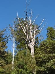 Kauri tree with dieback disease