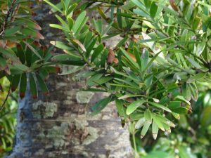 Kauri tree and leaves