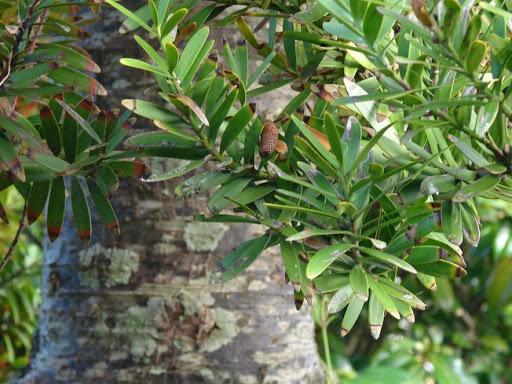 Kauri tree and leaves