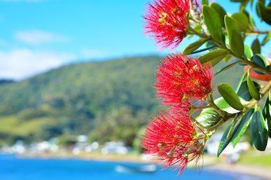NZ Christmas Tree, the pohutukawa